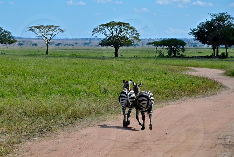 Zebra love in Serengeti Tanzania. photo