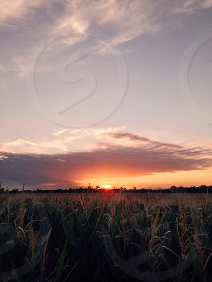 sunset over green corn field photo