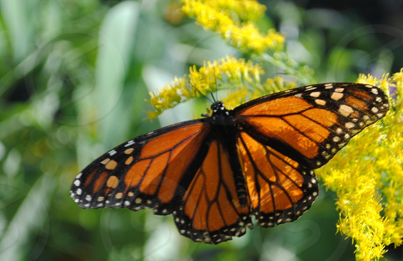 Nature Butterfly Transformation New Beginnings Monarch photo