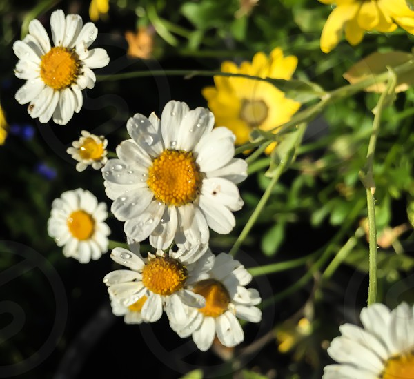 closeup photo of daisy flowers with dews photo