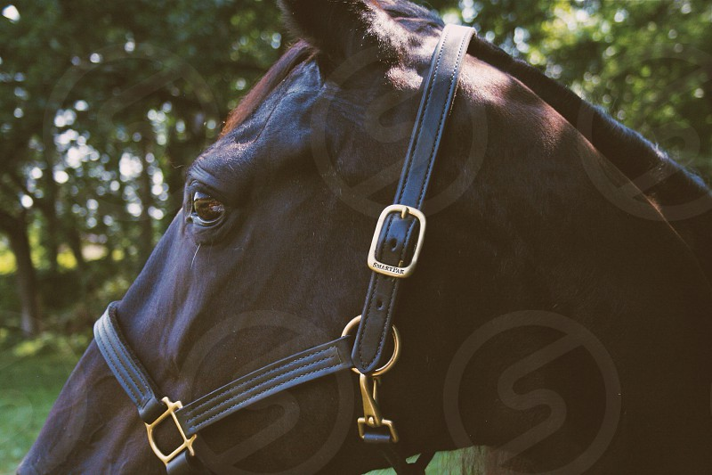 black horse with harness photo