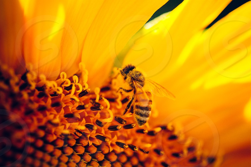 worker bee pollinating a sunflower photo