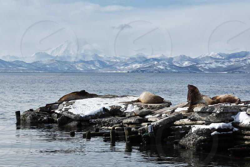 Nature of Kamchatka: rookery Steller Sea Lion or Northern Sea Lion (Eumetopias Jubatus). Avachinskaya Bay Petropavlovsk-Kamchatsky Kamchatka Peninsula Russia. photo
