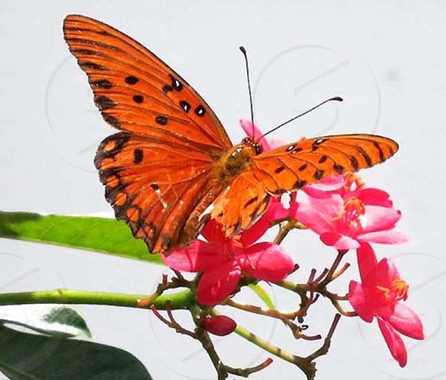 Gulf Fritillary butterfly on Jatropha blossoms  photo