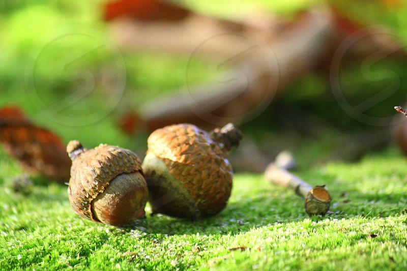 selective photo of brown acorn on green grass during daytime photo