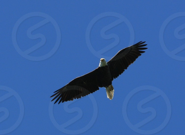 Eagle from st. Germain WI photo