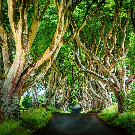 The Dark Hedges in Northern Ireland a prominent location for the shooting of Game of Thrones. photo