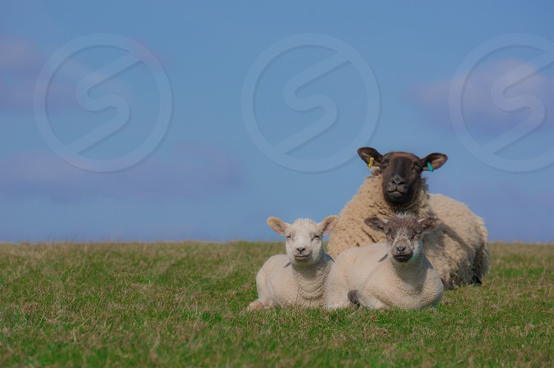 Sheep lamb farm Spring Sussex downs animals cute farming livestock  photo