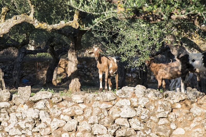 Tame goats among the olive trees. Sun light photo