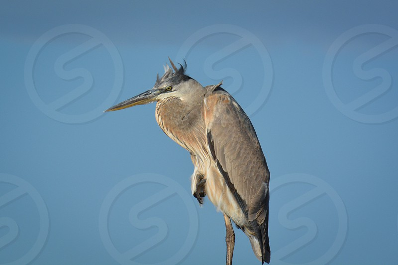 Great Blue Heron on Aransas Bay in South Texas photo