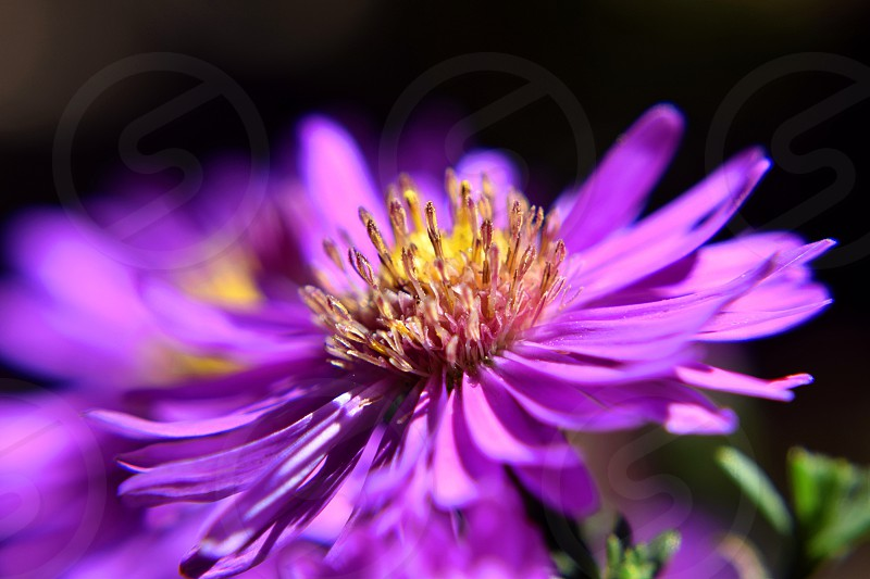Close up selective focus shot of Aster flower. photo