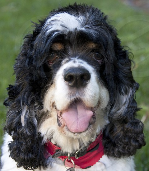 Close up of black and white cocker spaniel with brown eyebrows and red collar. photo