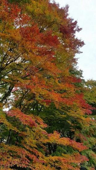 秋 旅行 旅 四季 日本 紅葉 自然 photo