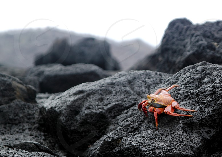 Photo of a Sally Lightfoot crab in the Galapagos Islands. photo