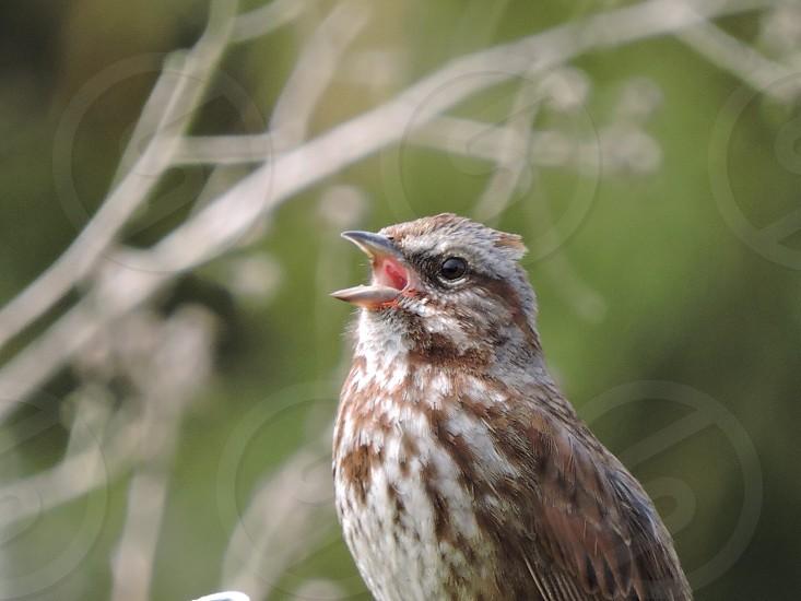 Singing Sparrow photo