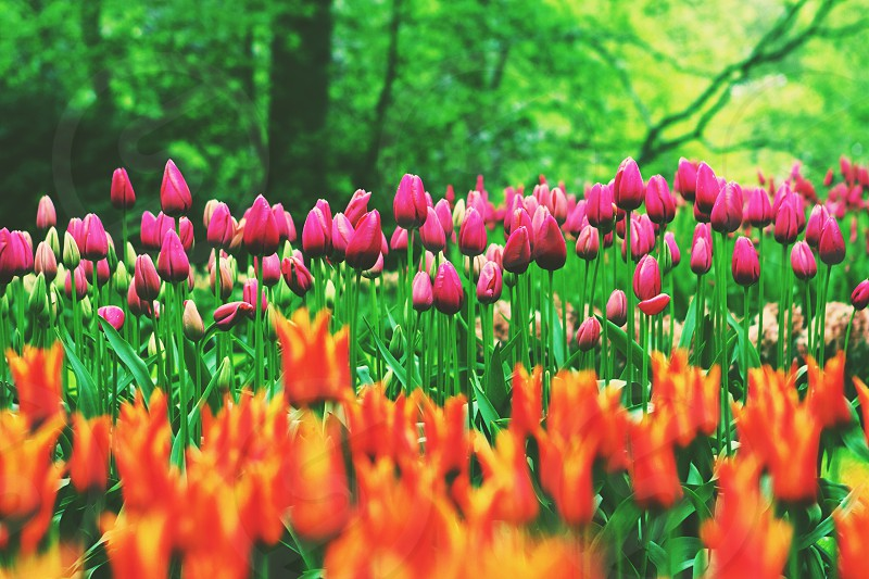 tulip tulips flowers spring colors photo