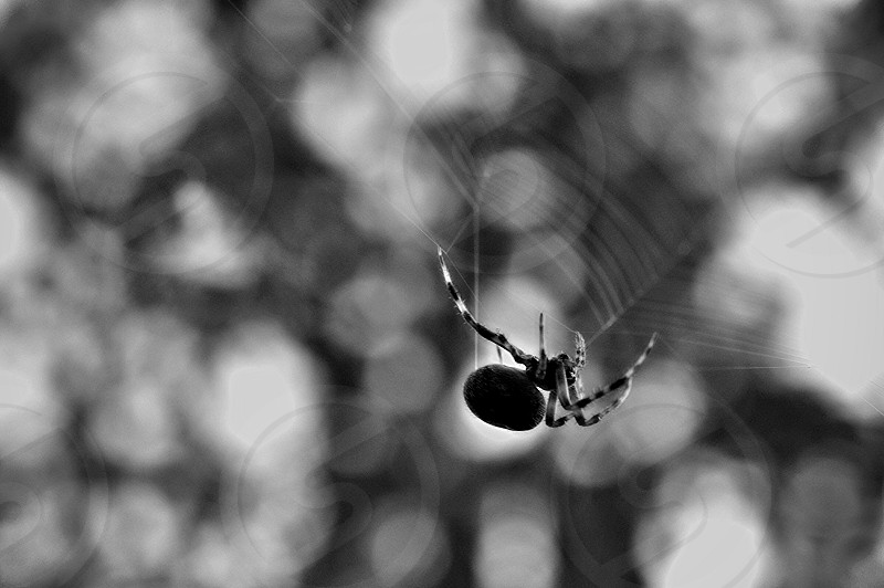 spider web weaving spinning orbspider blackandwhite moody photo