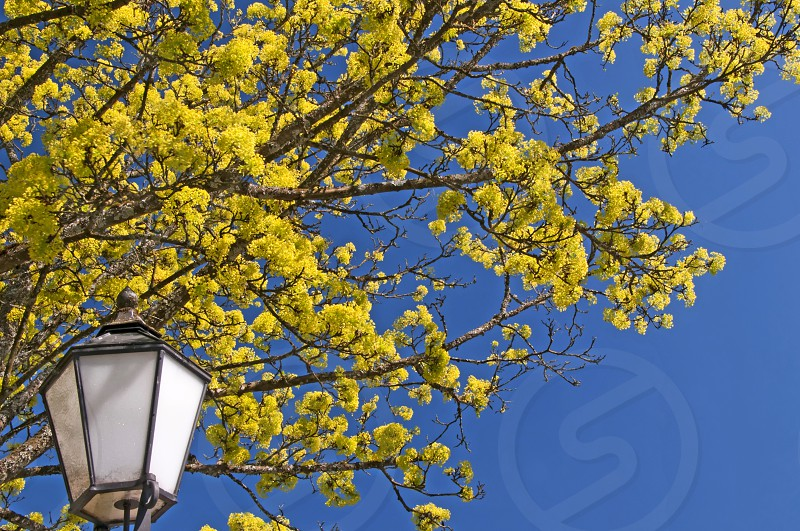 lantern with blooming maple tree and blue sky photo