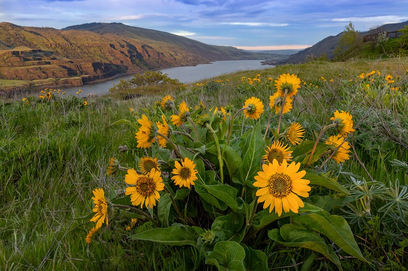 Balsamroot wildflowers at Columbia River Gorge in Oregon photo