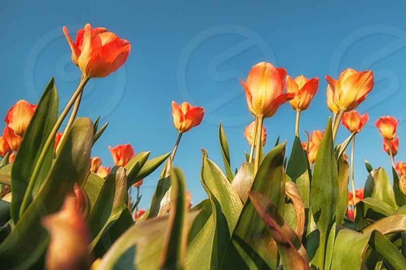 tulips chasing light photo