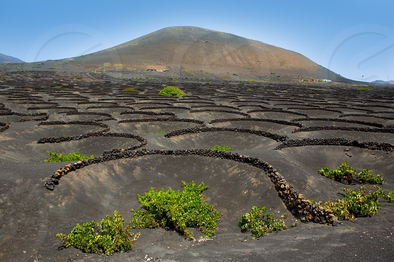 Lanzarote La Geria vineyard on black volcanic soil in Canary Islands photo