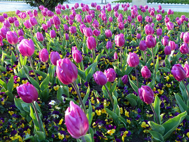 Tulips in a park photo
