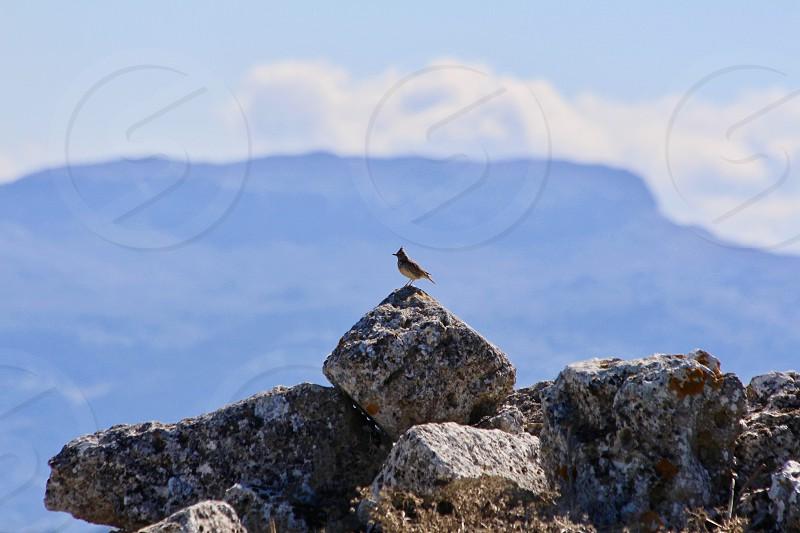 Beautiful bird relaxing on a mountain stone photo