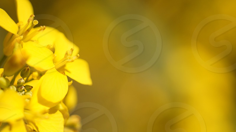 Yellow flower  photo