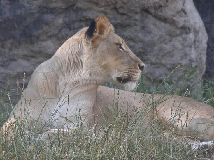 Side profile of lion laying in the grass photo