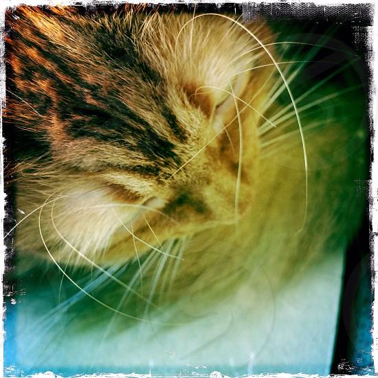 Cat cats cat head orange tabby  photo