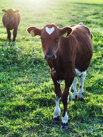 Heart forehead calf cow love b&w black and white  photo