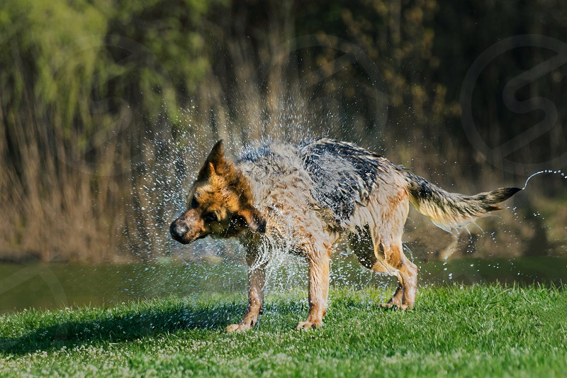 Dog German Shepherd bathingwaterspring  photo