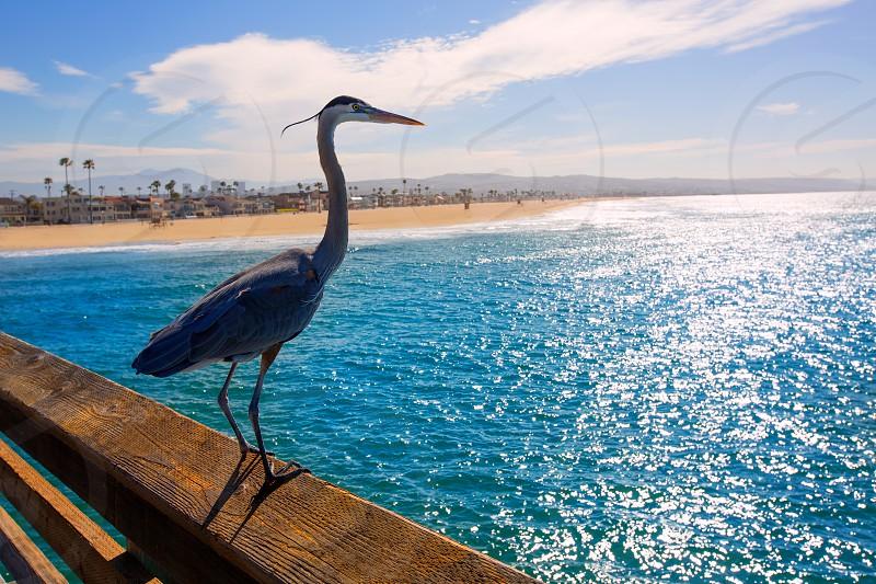 Great blue Heron Ardea cinerea in Newport pier California USA photo
