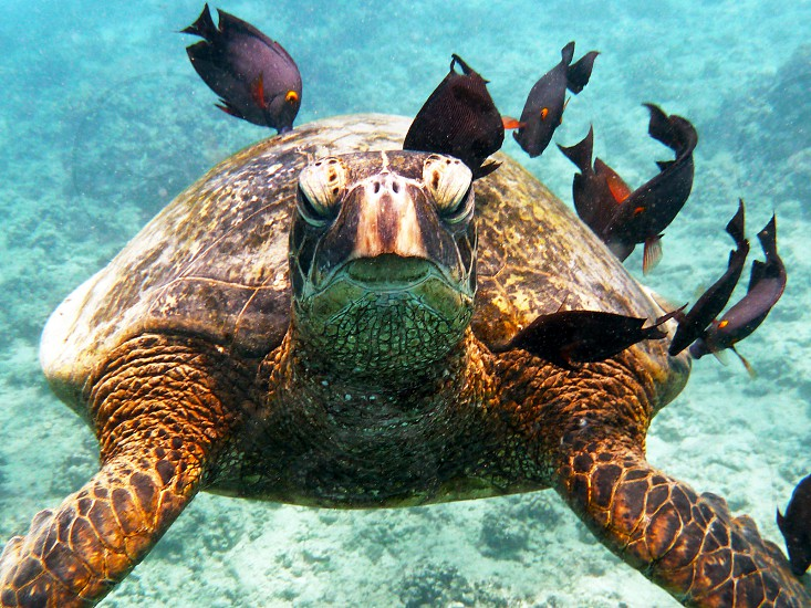 Turtle cleaning station diving Hawaii photo