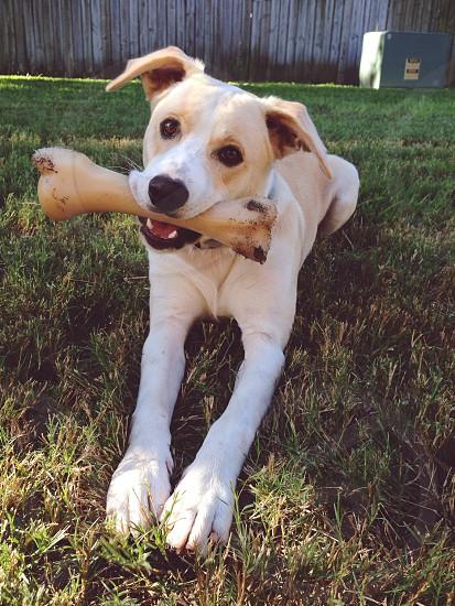 brown and white labrador retriever  pitbull mix biting bone photo