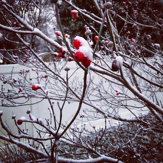 Winter snow tree red berries nature white photo