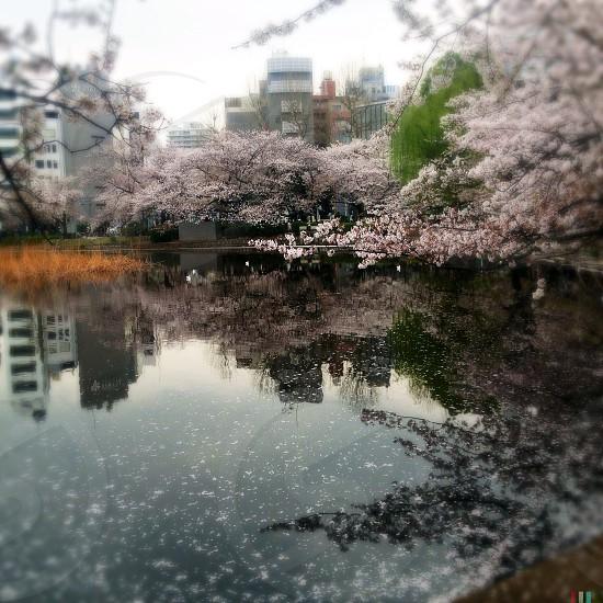 Sakura! Tokyo Japan. photo