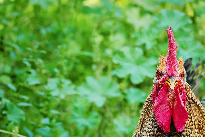Close-up of Red Sex Link Rooster against a field of green grass photo