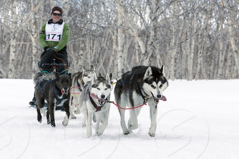 PETROPAVLOVSK-KAMCHATSKY KAMCHATKA RUSSIA - April 13 2014: Running dog sled team (Alaskan husky) musher Andrey Semashkin. Kamchatka Regional Competitions Sled Dog Racing in distance 40 kilometers. photo