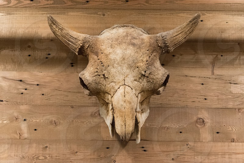 A skull hanging as art on a wood wall photo