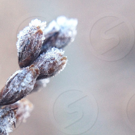 brown fruit with icicles photography photo