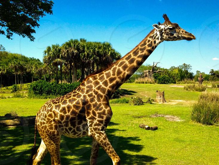 Giraffe Animal Animal Kingdom Florida Natural Wild Wildlife Close up photo