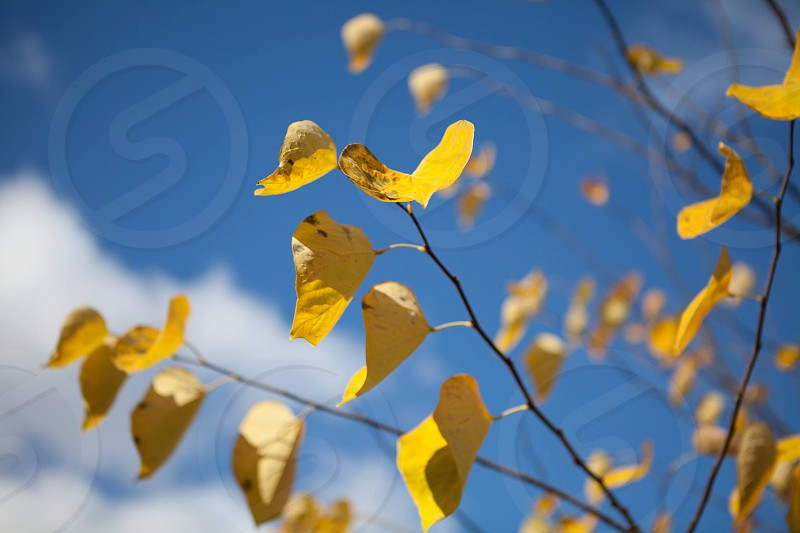 A yellow tree contrasted by a blue sky photo