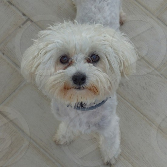 Bella our female Maltese dog photo