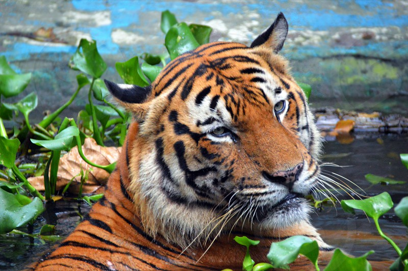 wild life tiger  photo