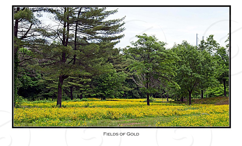 Fields of Gold photo