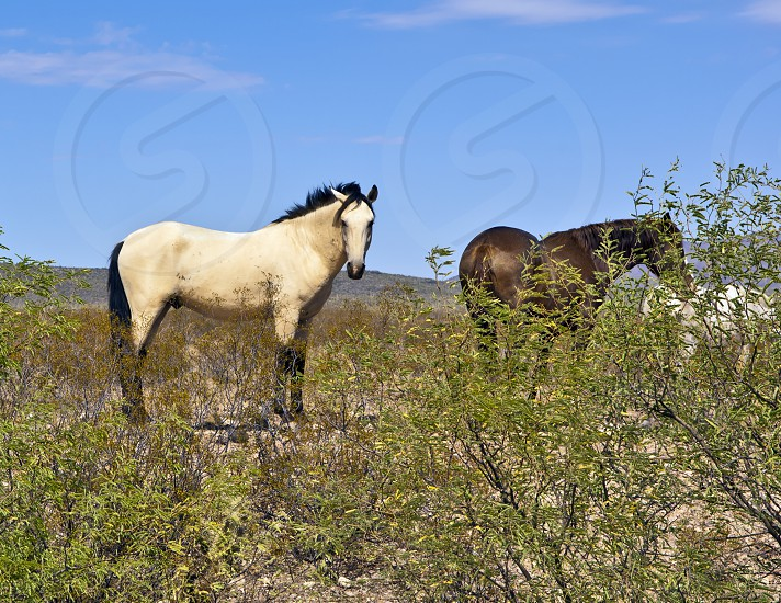Wild white and brown horses roaming free near Sells Arizona. Many parts of Arizona are open range. photo