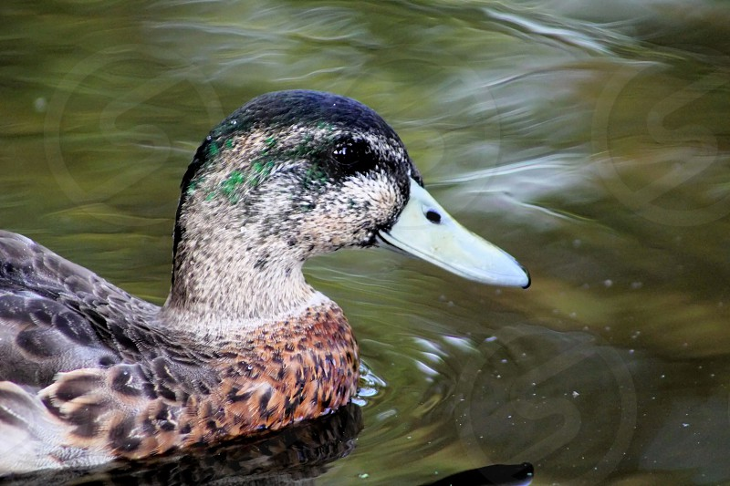 A close up of a colorful duck drake photo