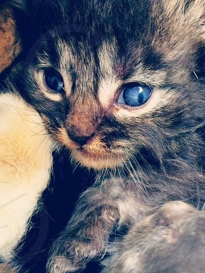 Grey cat blue eyed photo