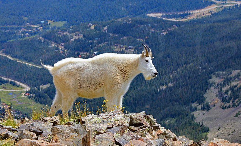 Mountain goat on the slopes of Colorado's 14000-foot Quandary Peak south of Breckenridge. photo